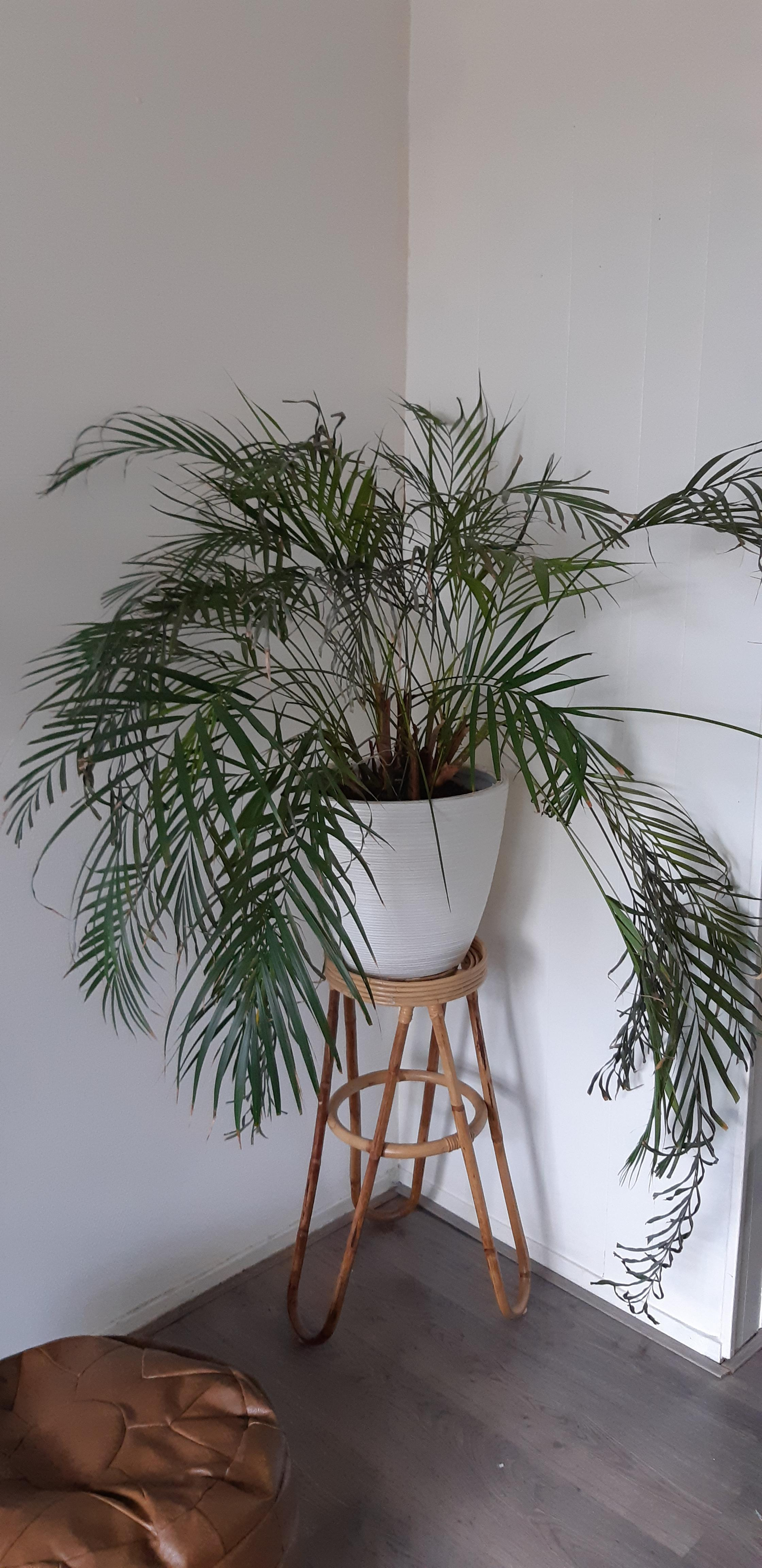 Artificial Chrysalidocarpus Lutescens I Ve Had This Dypsis Lutescens For Almost 10 Years And It Was