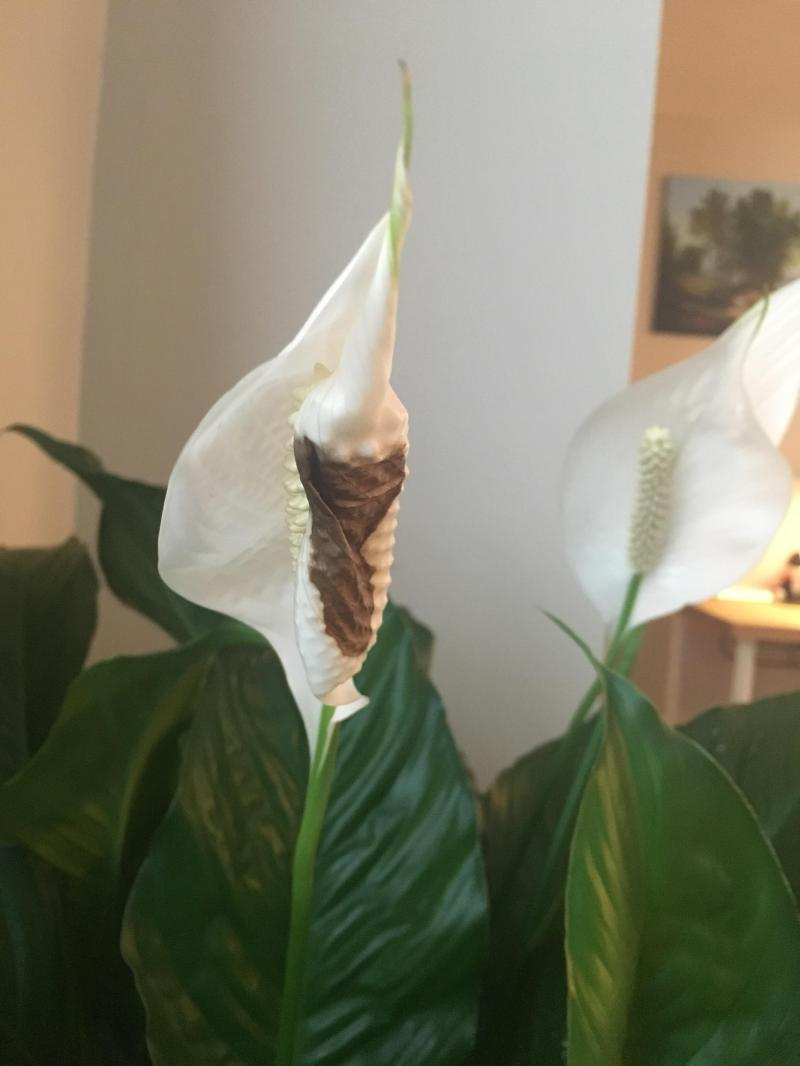 Large Of Peace Lily Brown Leaves