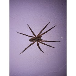 Small Crop Of Giant House Spider