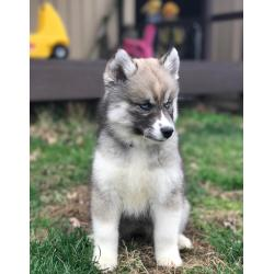 Small Crop Of Dog That Looks Like A Wolf