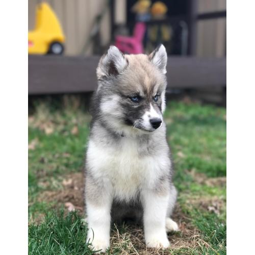 Medium Crop Of Dog That Looks Like A Wolf