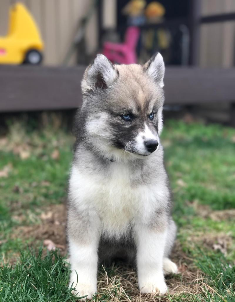 Large Of Dog That Looks Like A Wolf