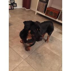 Contemporary We Are Busy Spoiling Crapout This Is Gus Is A Rottweiler Corgi Say We Just This Is Gus Is A Rottweiler Corgi Say We Just Adoptedhim From A Family That Was Neglecting Him