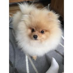 Small Crop Of How Long Do Pomeranians Live