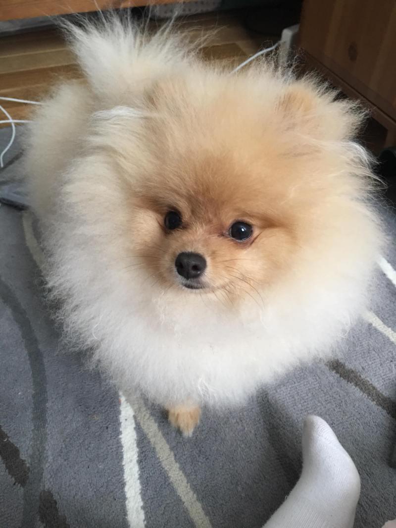 Large Of How Long Do Pomeranians Live