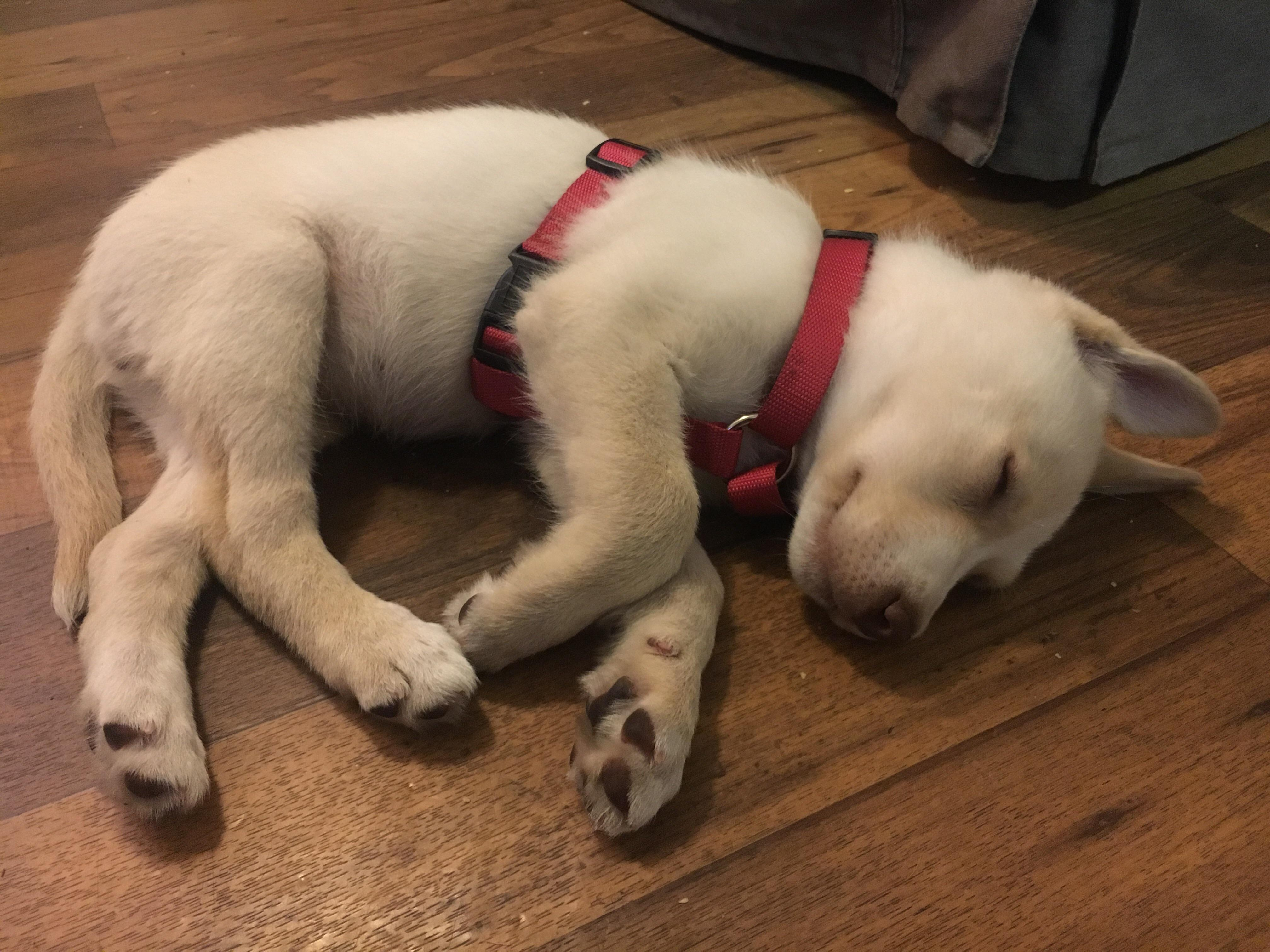 White Boxer Husky Mix Wait To See What She Looks Like All Grown Boxer Husky Mix Wait To See What She Looks Like All Boxer Pug Mix Lifespan Pitbull Boxer Pug Mix bark post Boxer Pug Mix
