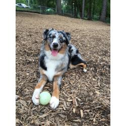 Natural Friendly Reer To Not Shave Your Wiggle Butt Summer Friendly Reer To Not Shave Your Wiggle Butt Summer Do Mini Australian Shepherds Shed A Lot Does Australian Shepherds Shed