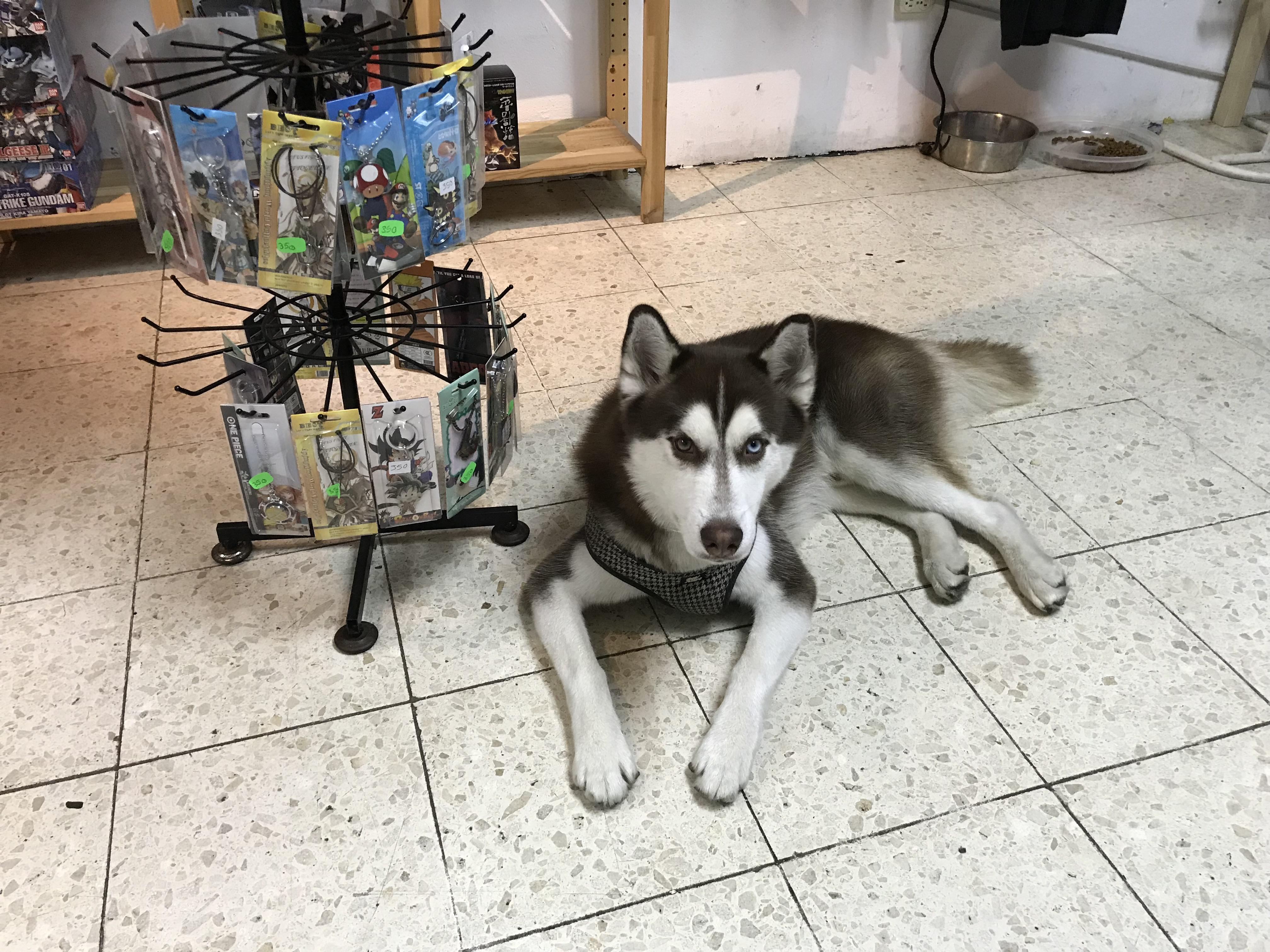 Husky Store Zeus A Brown Haired Husky That Works At An Anime Store He S