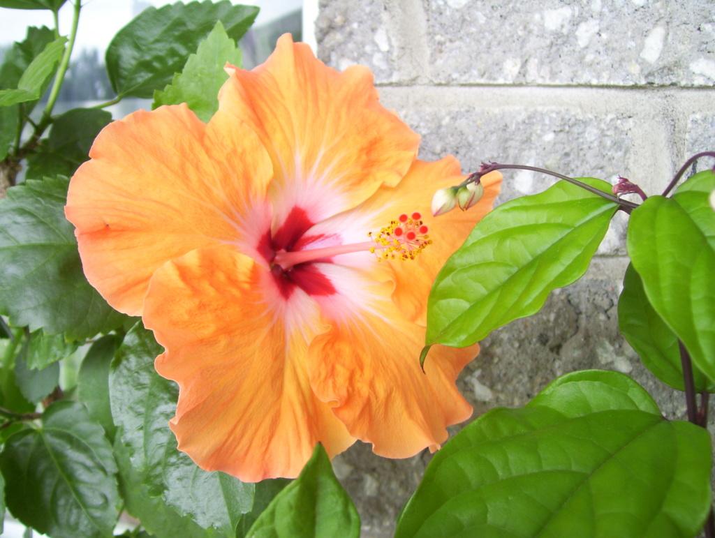 Quand Tailler Hibiscus   Tailler L Hortensia Les Bons Gestes Du ...