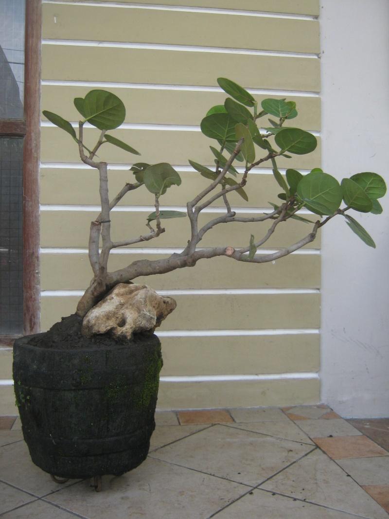 Fullsize Of Sea Grape Tree