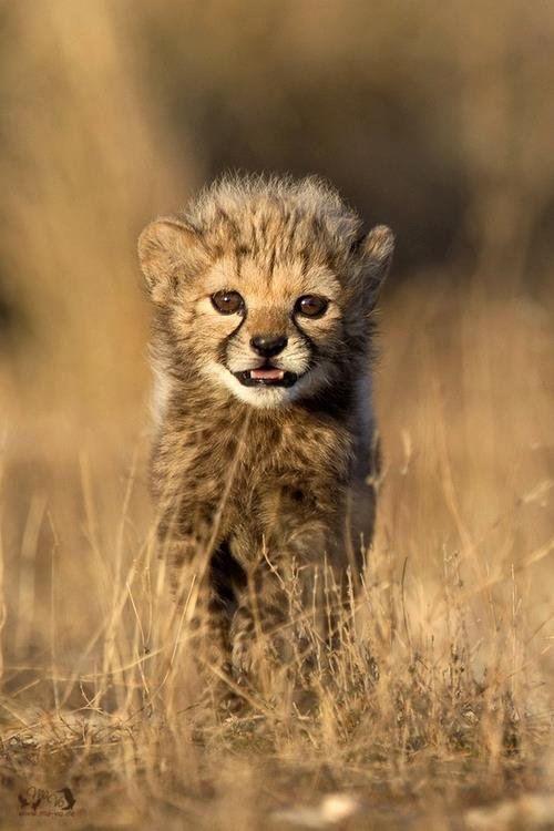 Super Cute Baby Cats Wallpaper Un Bebe Guepard Blog De Animaux08800