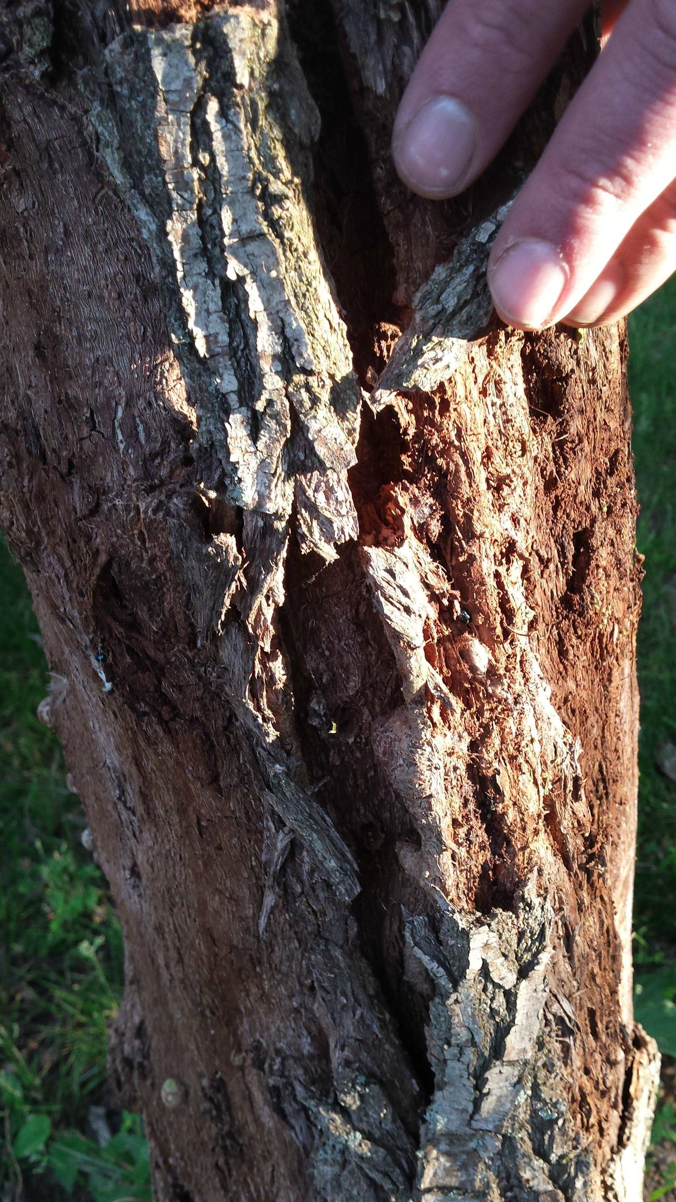 Corkscrew Trees - Corkscrew Willow Bark Peeling And Bugs - Gardening
