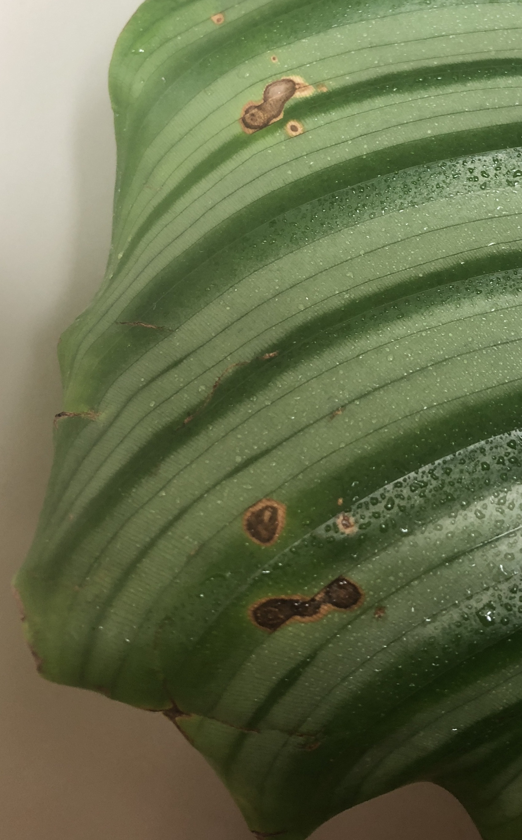 Calathea Orbifolia Diagnosis - Brown And Yellow Spots On Calathea Orbifolia