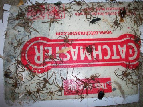 Supple Enter Image Description Here Pest Control How Do I Set Up A Massive Spider Glue Trap Like Askreddit Home Improvement Reddit Home Improvement Videos