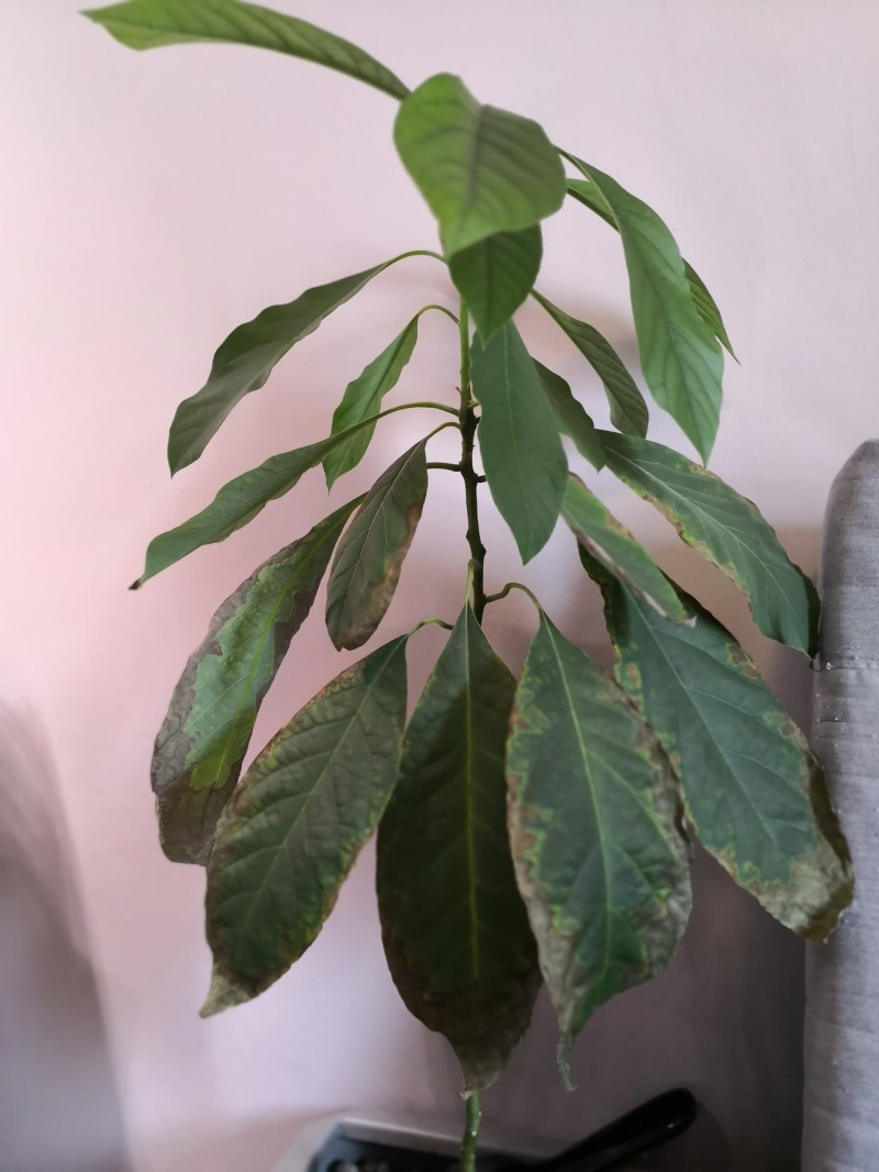 Large Of Indoor Avocado Tree