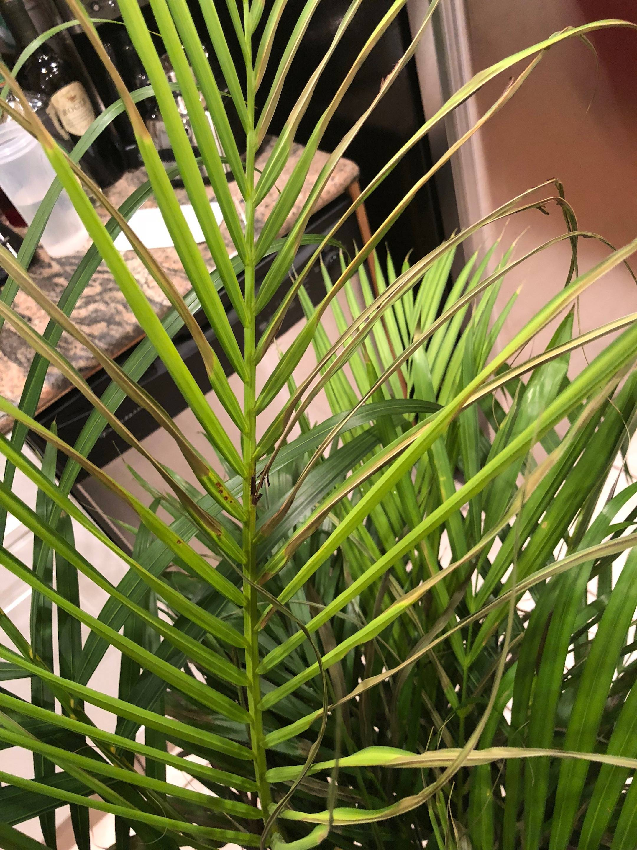 My Areca Palm Is Dying Gardening Landscaping Stack Exchange