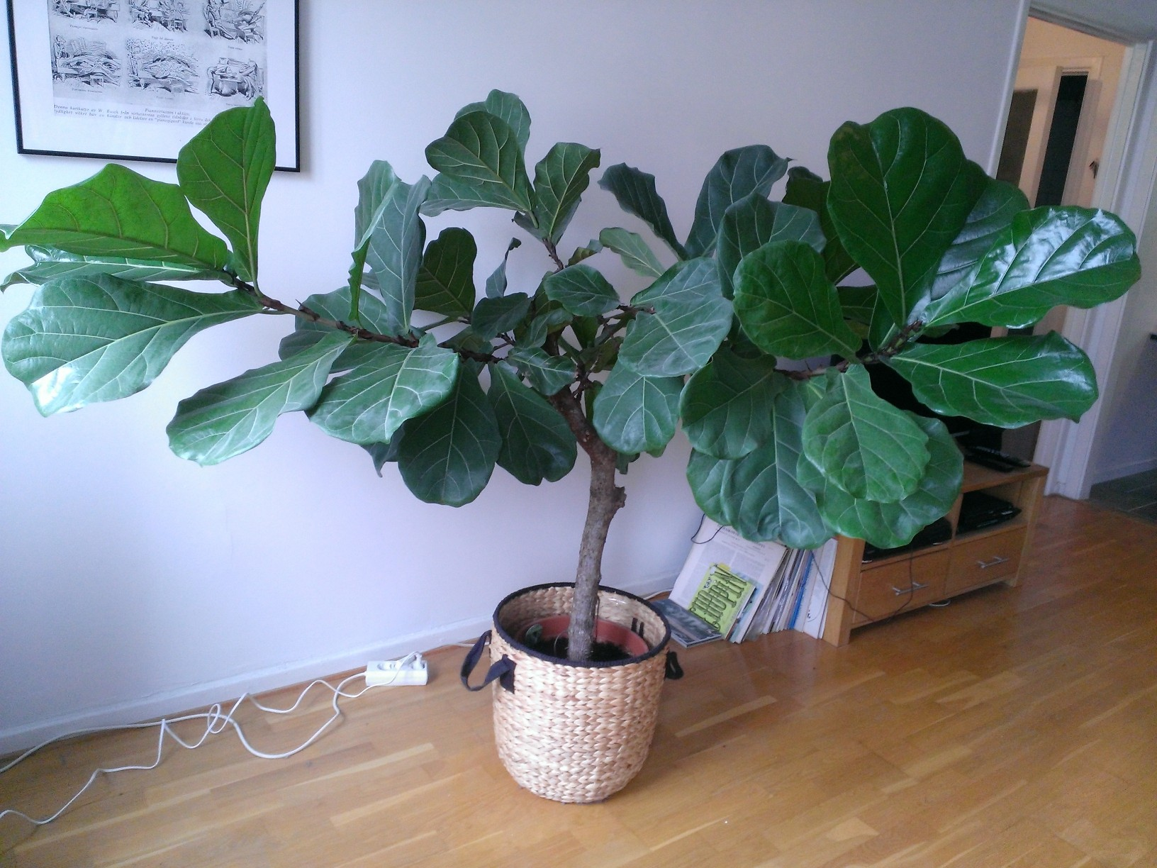 Fiddle Leaf Fig Tree Houseplants How To Prune A Fiddle Leaf Fig Tree