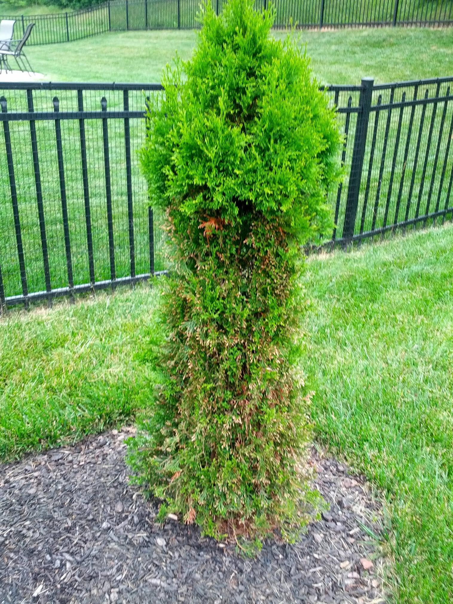 Thuja Yellow Ribbon Height Trees Will Arborvitae Regrow To Their Usual Shape After