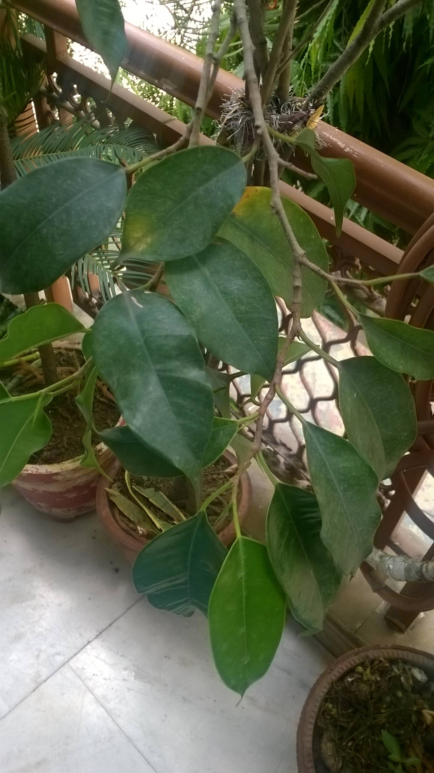 Ficus Benjamina Houseplants - How Should I Re-pot A Severely Root-bound
