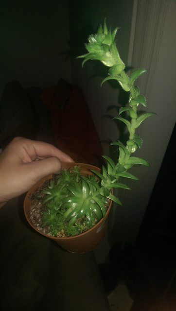 Identification - What Is This Succulent Plant Bought From A