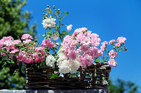 Royalty Free Photo Four Pink Rose Flowers Pickpik