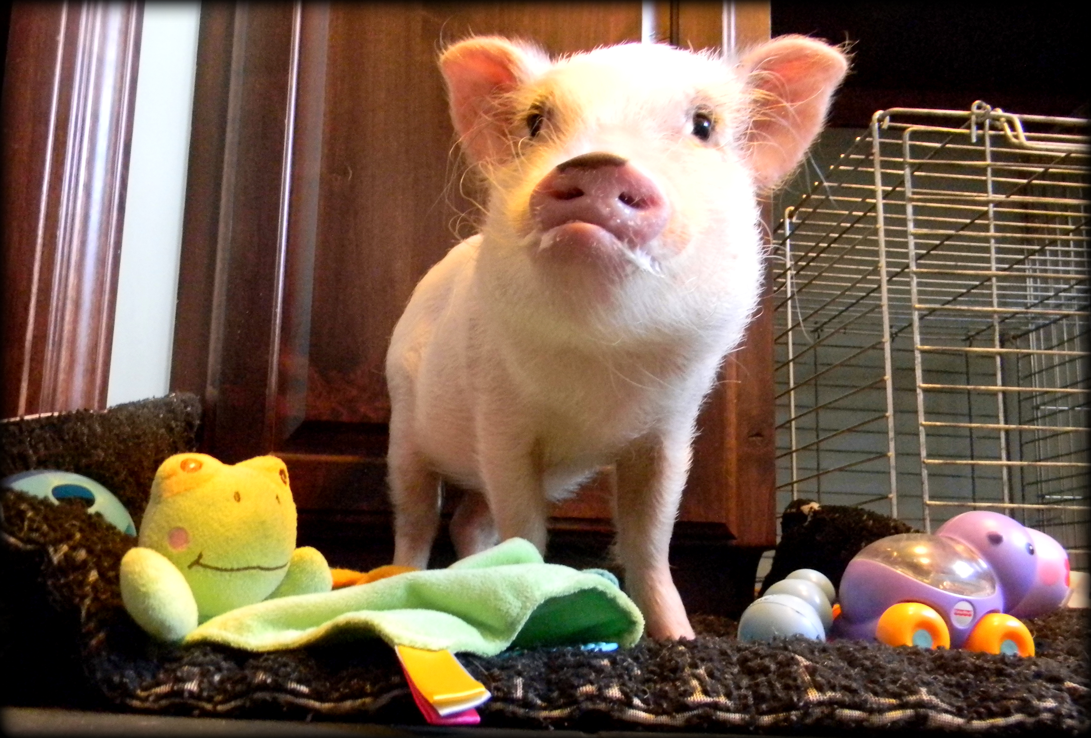 Toys For Mini Pigs Life With A Mini Pig