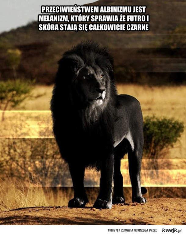 Jaguar Animal Wallpaper Czarny Lew Kwejk Pl Najlepszy Zbi 243 R Obrazk 243 W Z Internetu