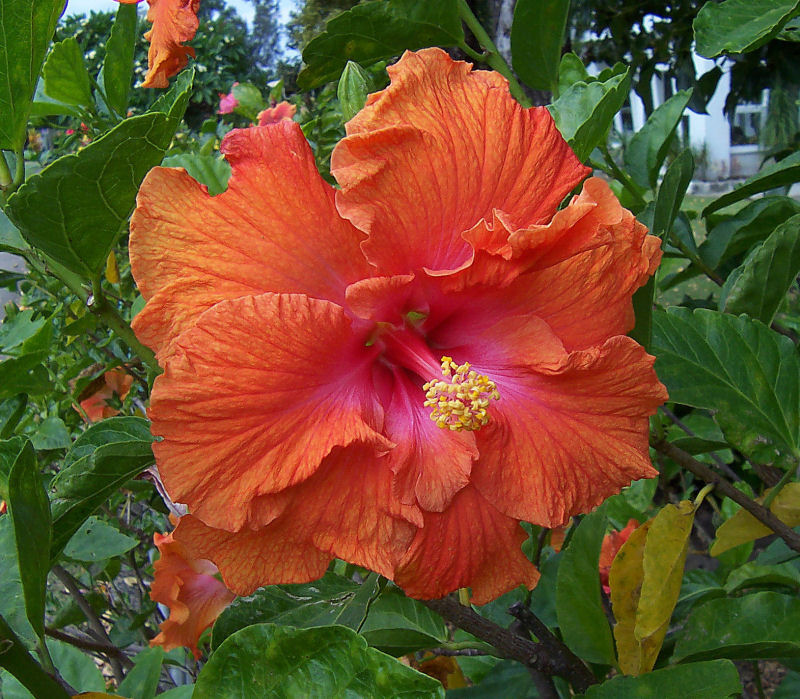 Hibiscus In Spanish Hibiscus, A Photo From New South Wales, East | Trekearth