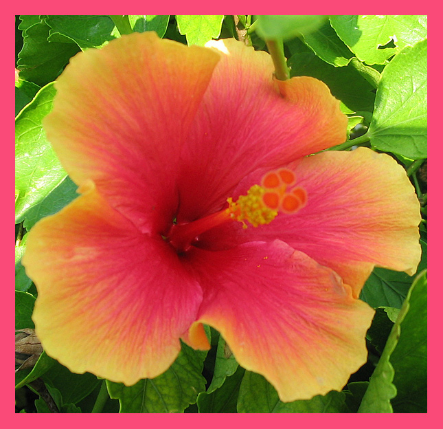 Hibiscus In Spanish Hibiscus, A Photo From Florida, South | Trekearth
