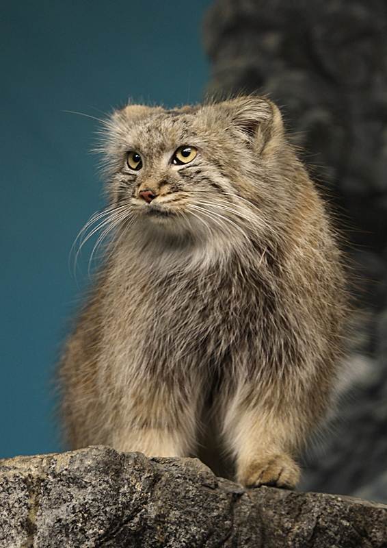 Dutch Mountain House Treknature | Pallas Cat Photo