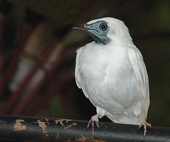 Klok 70 Cm Treknature | Bare-throated Bellbird Photo