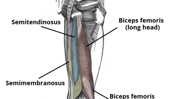 hamstring-muscles-diagram-muscles-of-the-posterior-thigh-hamstrings