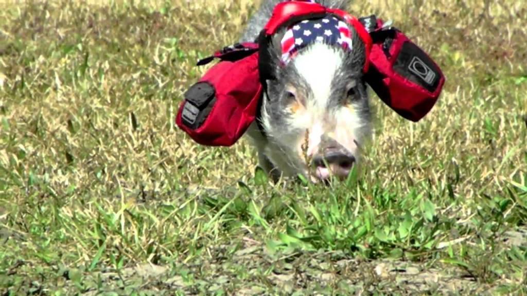 5 Adult Teacup Pig