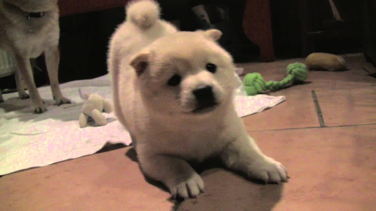 Shiba Inu Cute Desktop Wallpaper Shiba Inu Puppy Barking And Showing Who The Boss Is 8
