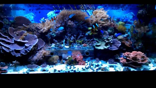 My coral frags and 75 gallon reef tank aquarium   YouTube