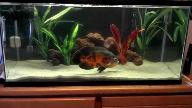 10 inch tiger oscar in a 40 gallon breeder tank (hi def)   YouTube