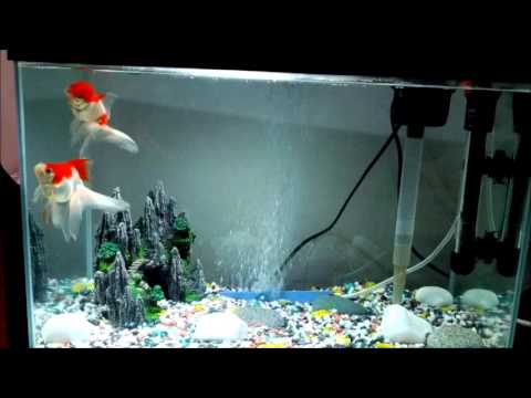 My Goldfish in 10 Gallon Tank. (Nora and Arnie)   YouTube