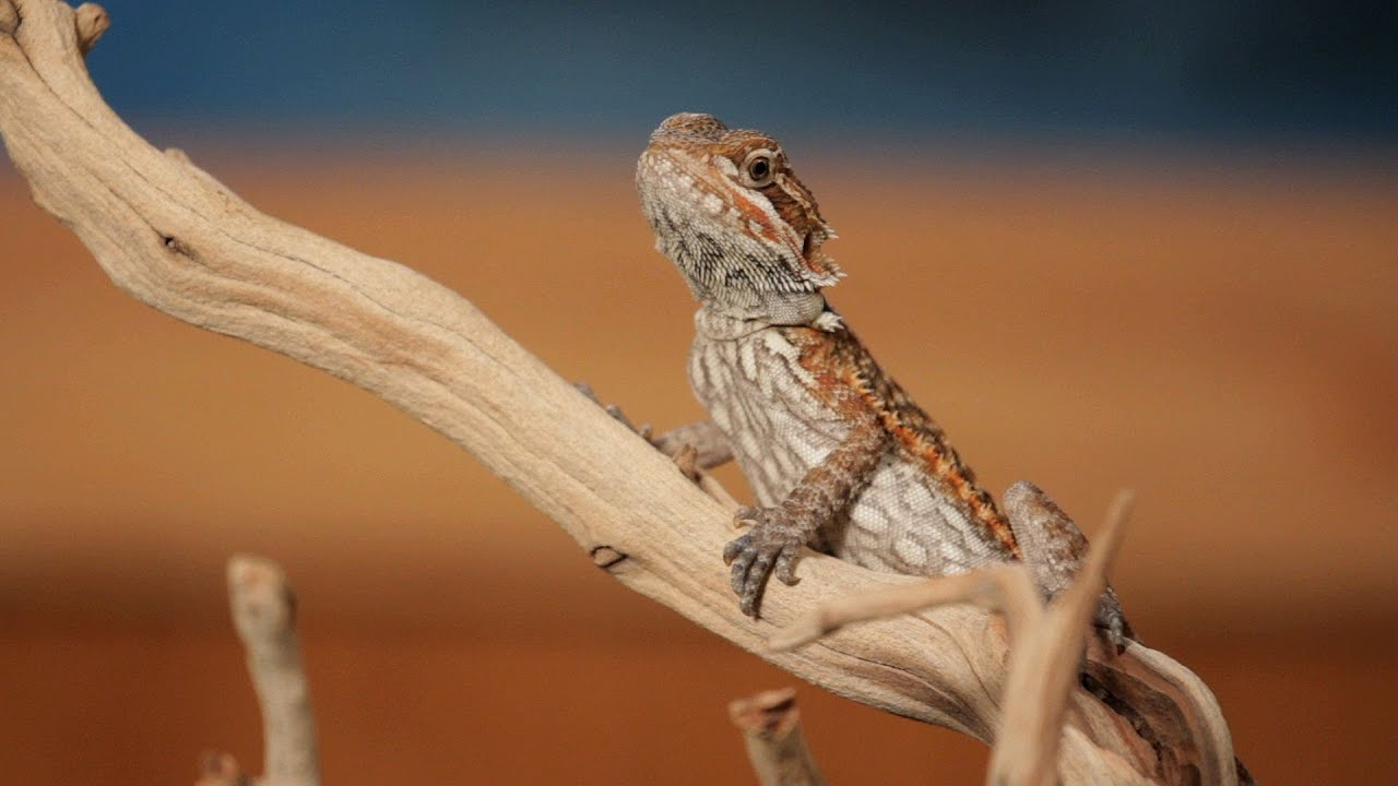 Cute Kid Love Wallpaper 7 Cool Facts About Bearded Dragons Pet Reptiles Youtube