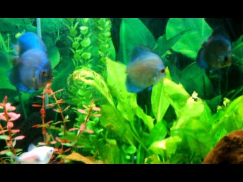 75 GALLON PLANTED DISCUS AND COMMUNITY FISH TANK   YouTube