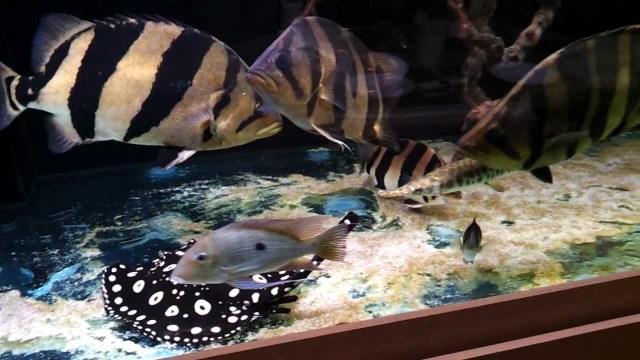 tiger fish, black diamond stingray, 450 gallon aquarium   YouTube