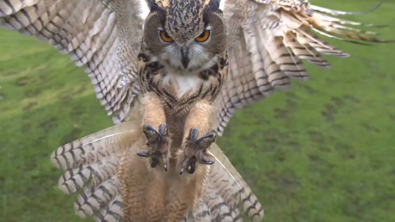 Cute Angry Bird Wallpaper Eagle Owl In Flight High Speed Camera Amazing Slow Motion