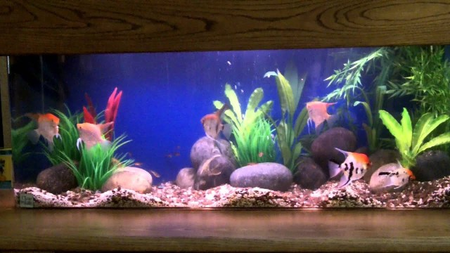 60 Gallon Angel Fish Aquarium   YouTube