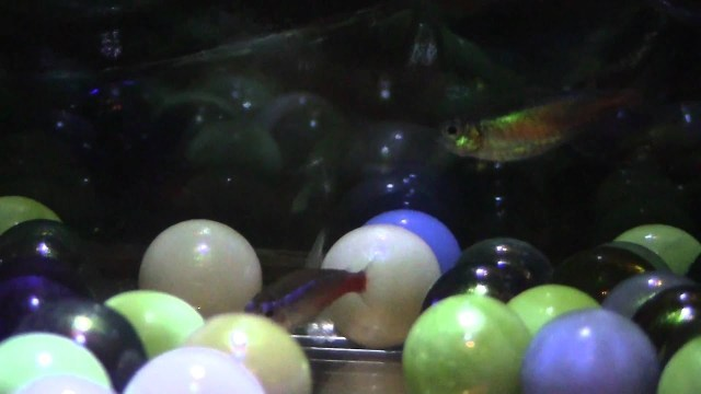Neon Tetra Breeding   Update 1   YouTube