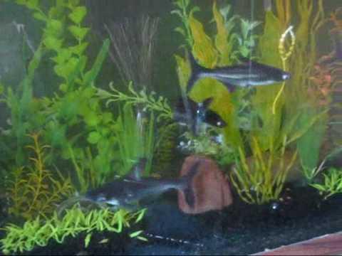 My Sharks Fish Tanks Freshwater JAWS iridescent shark   YouTube