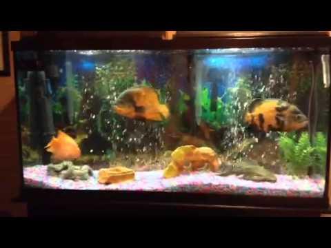60 gallon oscar tank   YouTube