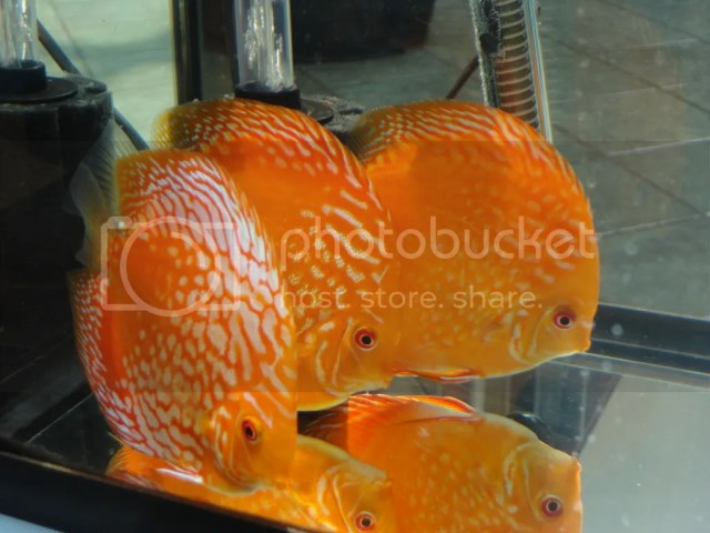 Minnesota Fish Keepers Forum ? View topic   North American Discus