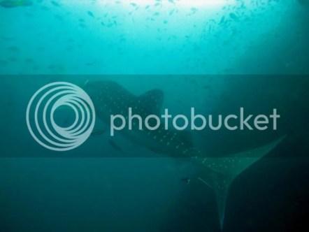 whale-sharks-sail-rock