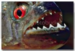 Amazon River Piranha Fish