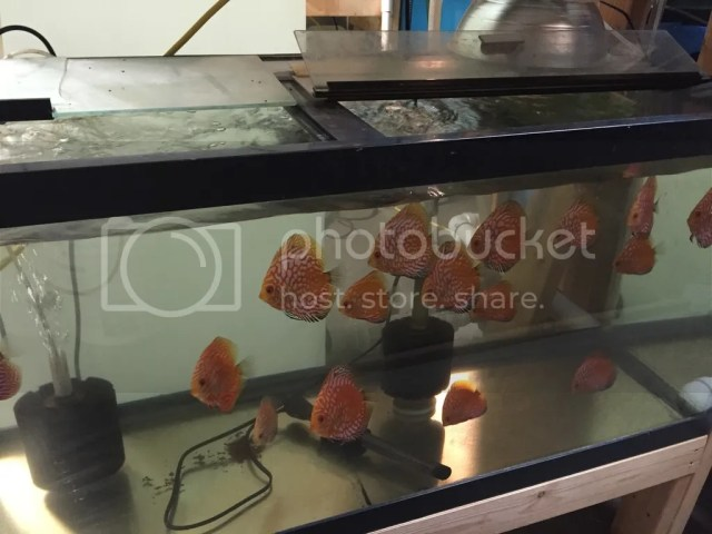 Minnesota Fish Keepers Forum ? View topic   Discus for sale