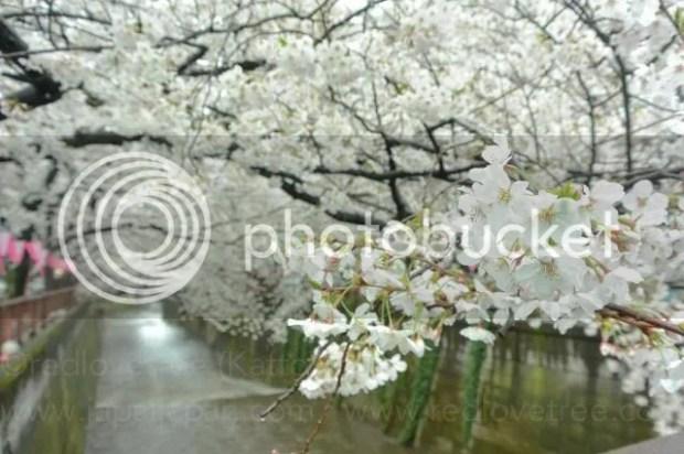 photo Sakura-meguro-4.jpg